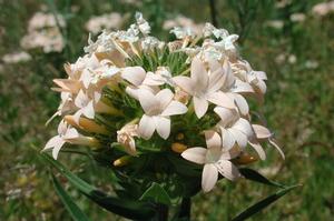 Collomia grandiflora
