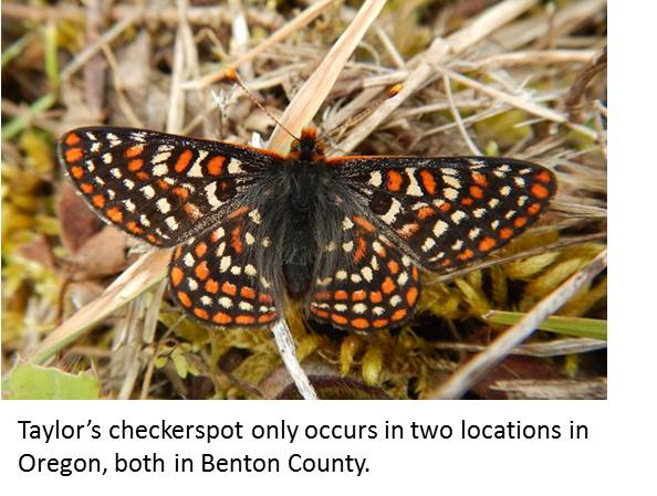 Feature checkerspot 2