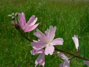 Sidalcea-virgata-flower-Fir-Butte